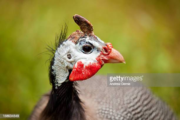 guineafowl - andrew dernie photos et images de collection