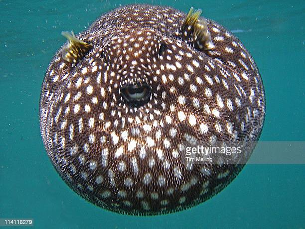 Puffer fish stock photos and pictures getty images for Puffer fish images