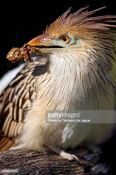 Guira cuckoo with food in the beak