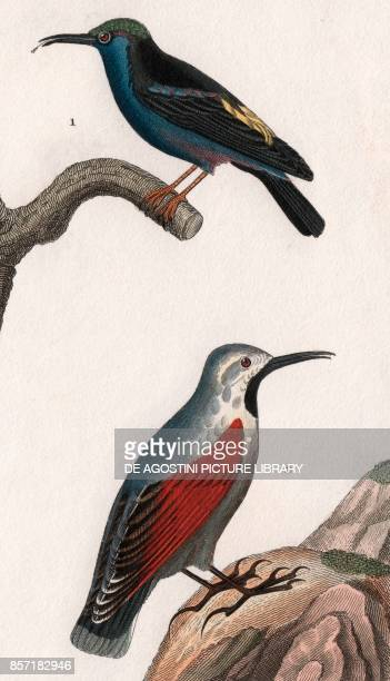 1 Guitguit or Honeycreeper 2 Wallcreeper colour copper engraving retouched in watercolour 9x15 cm from Dizionario delle scienze naturali compilato da...