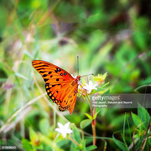 gulf fritillary at lovers key state park, bonita springs, florida - state park stock pictures, royalty-free photos & images