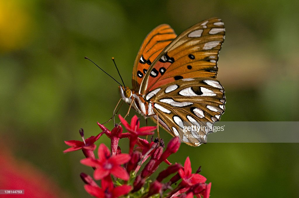 Gulf Fritillary Butterfly (Agraulis vanillae) nectaring on Penta Flowers, Fort Myers, Florida, USA : Stock Photo