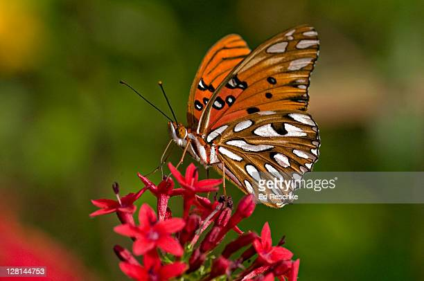 Gulf Fritillary Butterfly (Agraulis vanillae) nectaring on Penta Flowers, Fort Myers, Florida, USA