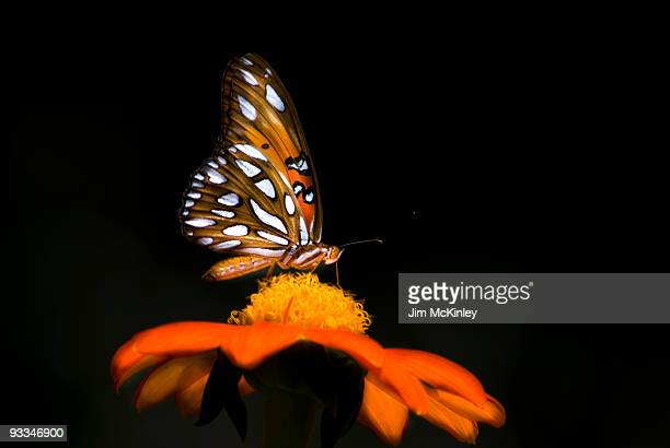 gulf fritillary butterfly - symbiotic relationship stock pictures, royalty-free photos & images