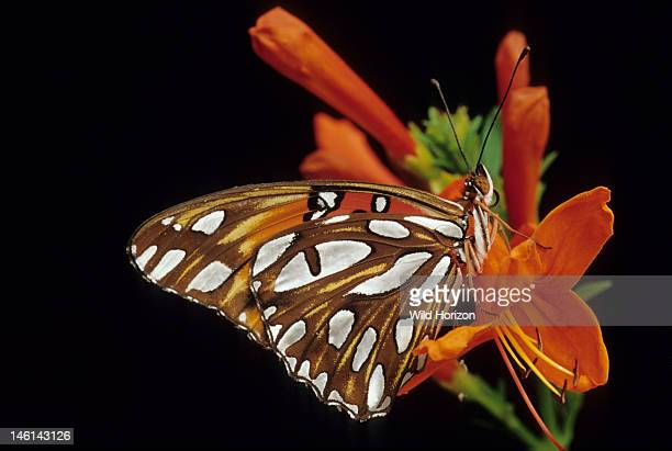 408 Gulf Fritillary Butterfly Photos And Premium High Res Pictures Getty Images