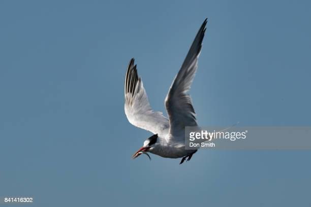 gull and fish - don smith stock-fotos und bilder