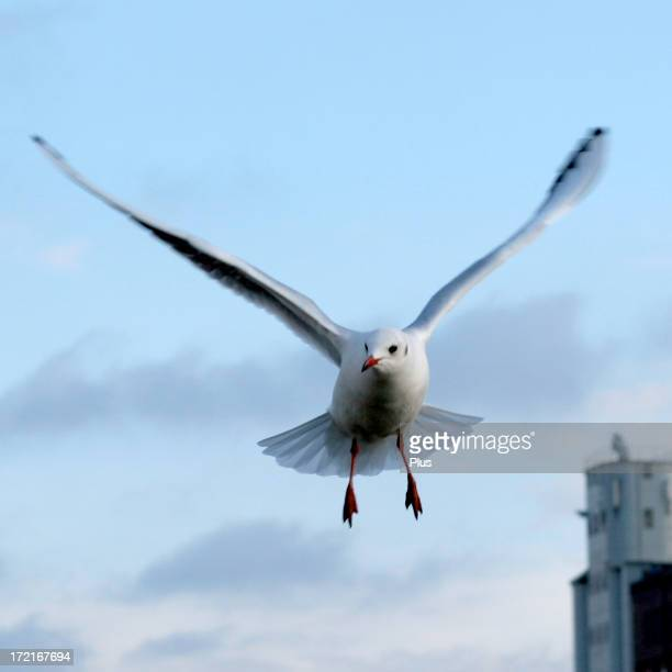Gull at flight