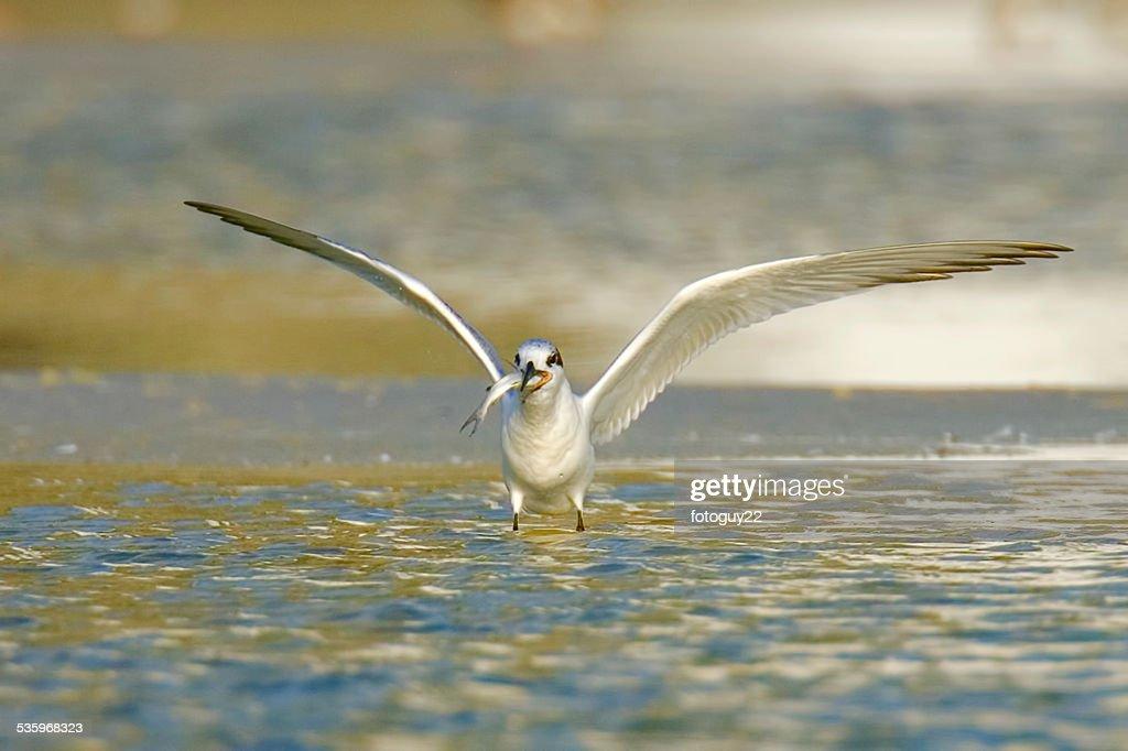 Gull Eating Fish : Stock Photo