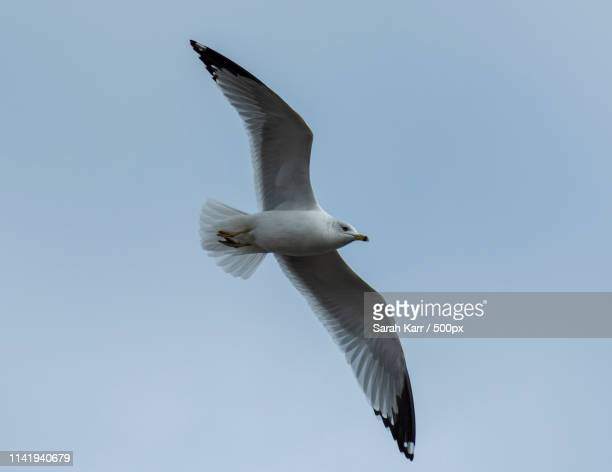 gull hovering over head - sarah hardy stock pictures, royalty-free photos & images