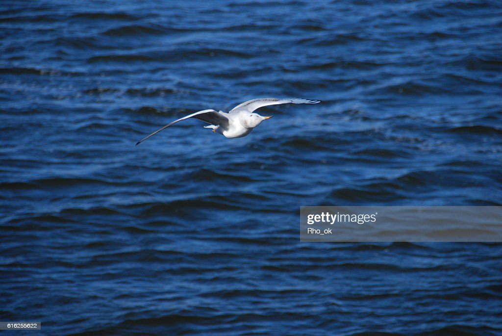 Gull in flying : Foto de stock