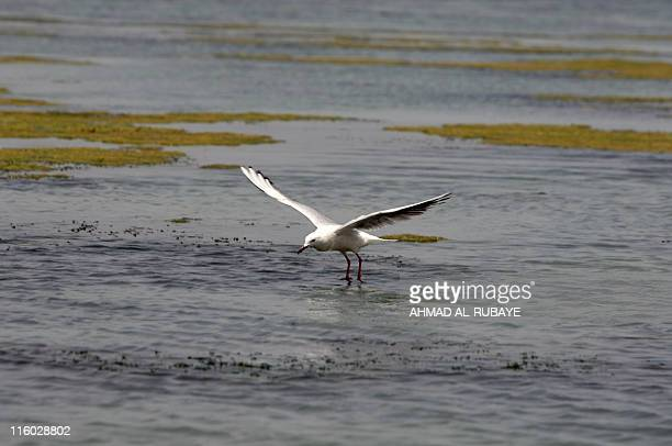 Gull is seen over the al-Huwaiza marshes northern Amara, 420 km south of Baghdad on June 13 considered to be the demarcation line with neighbouring...