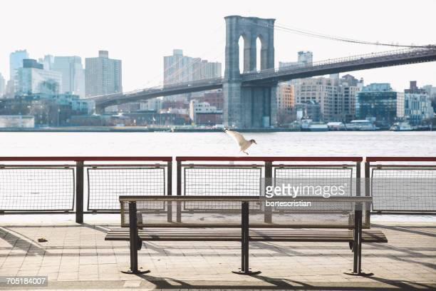 gull landing on railing of pier against brooklyn bridge over east river - bortes stockfoto's en -beelden