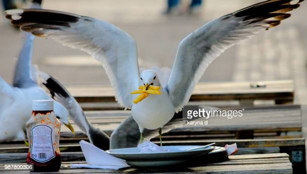 gull lunch - seagull stock pictures, royalty-free photos & images
