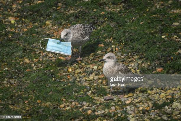 Gull picks up a discarded protective face mask from the shoreline in the marina on August 11, 2020 in Dover, England. Wildlife conservation groups...