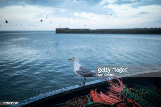 Gull sits on the stern of the boat after a night fishing for flatfish such as Skate and Dover Sole in the English Channel from a Hastings fishing...