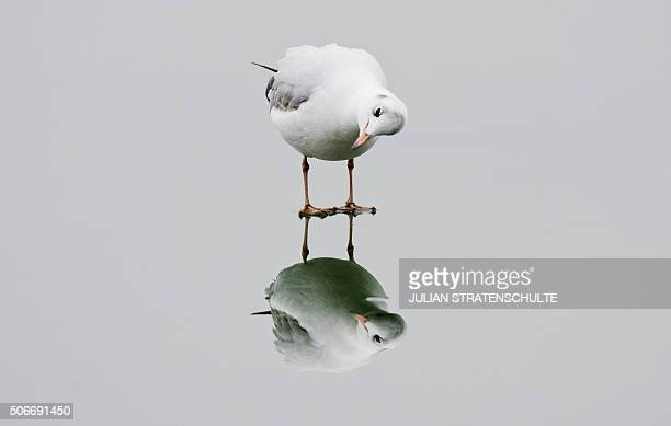 A gull stands on the ice of the Maschsee lake in Hannover on January 25 2016 / AFP / dpa / Julian Stratenschulte / Germany OUT