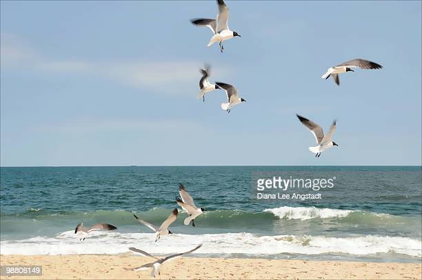 Gulls a Dance'n