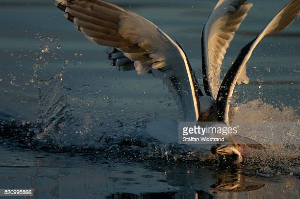 Gulls Catching Fish