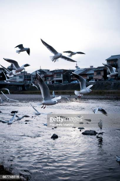 Gulls Flying over Kamo River, Kyoto City