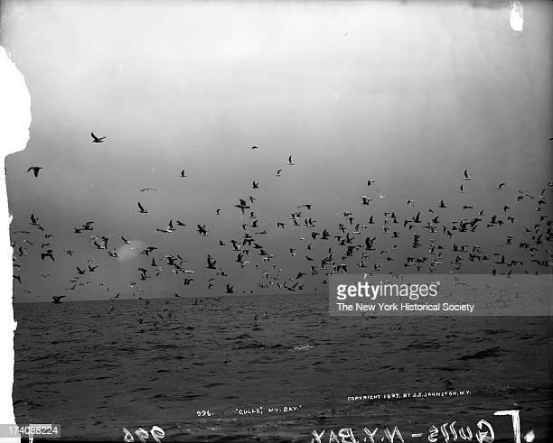 Gulls in New York Bay, New York, New York, 1897.