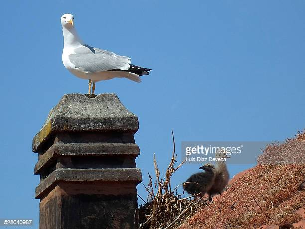 Gulls nest in the chimney of the building