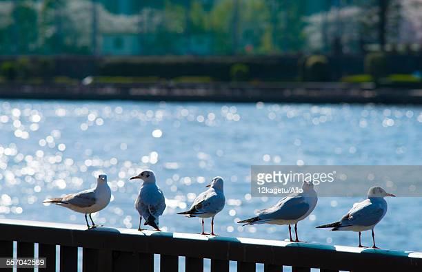 Gulls on a fence