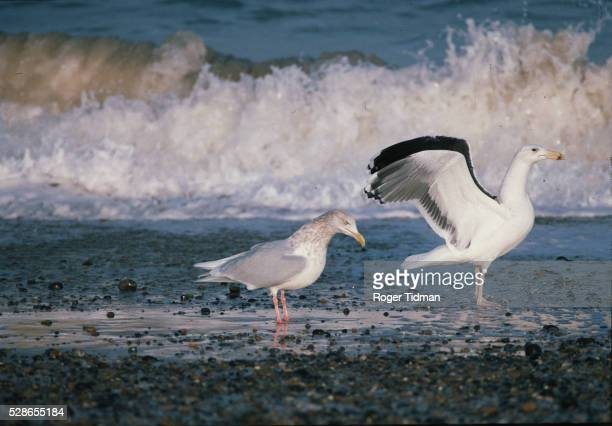 Gulls on the Seashore