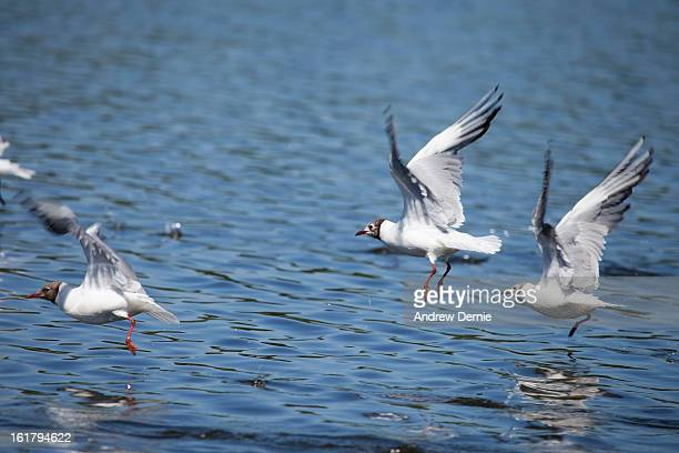 gulls - andrew dernie stock pictures, royalty-free photos & images