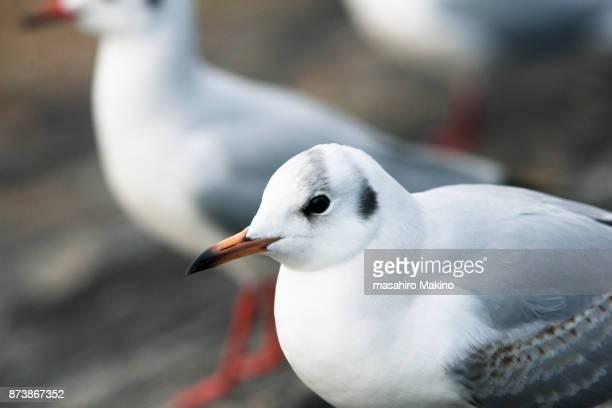 gulls - 海洋性の鳥 ストックフォトと画像