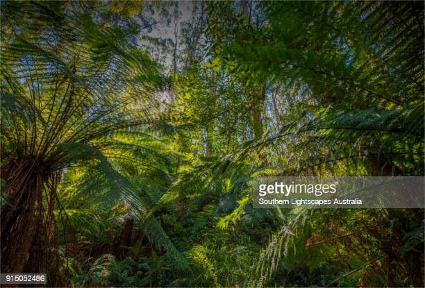 A gully in the rainforest filled with Tree-Ferns, Tarra Bulga National Park, South Gippsland, Victoria.