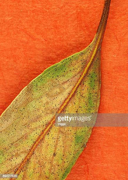 composition de feuilles de gomme