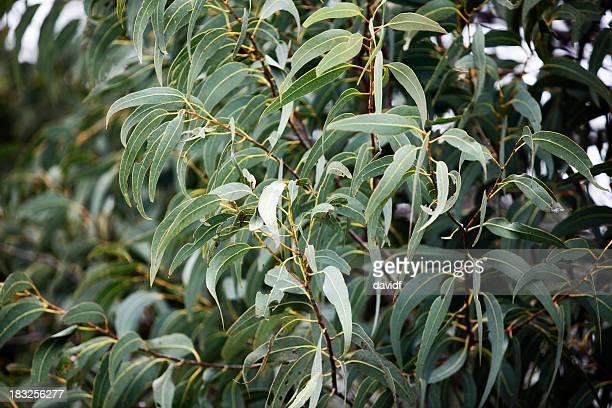 Gum Blätter