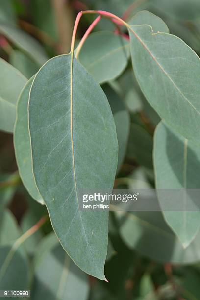 gum leaves - eucalyptus tree stock pictures, royalty-free photos & images
