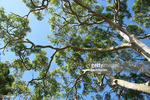 gum tree - eucalyptus tree stock pictures, royalty-free photos & images