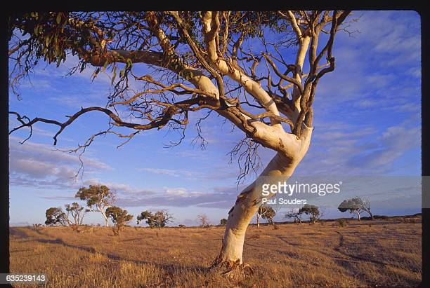 Gum trees in late afternoon light in a sheep paddock near the town of Robe along the Younghusband Peninsula Australia | Location Robe Younghusband...