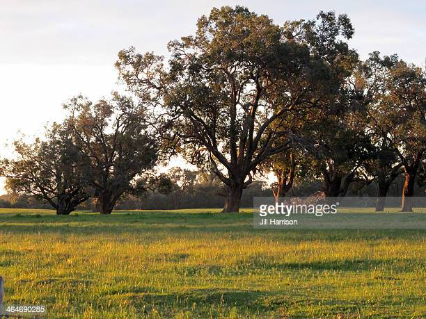 gum trees in paddock - jill harrison stock pictures, royalty-free photos & images