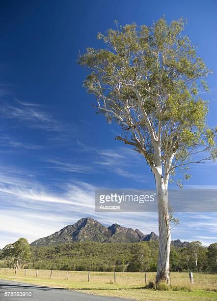 Gumtree Eucalyptus sp isolated tree in rural landscape Mount Barney National Park Border Ranges southeast Queensland Australia