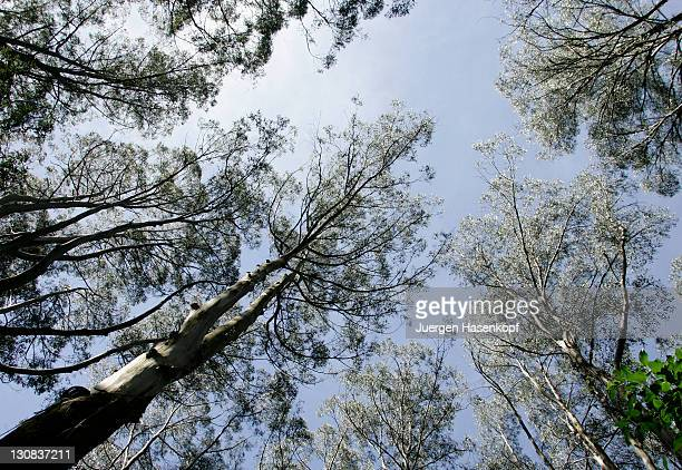gumtrees in sherbrooke forest in the dandenong ranges national park.victoria, australia, - dandenong stock photos and pictures