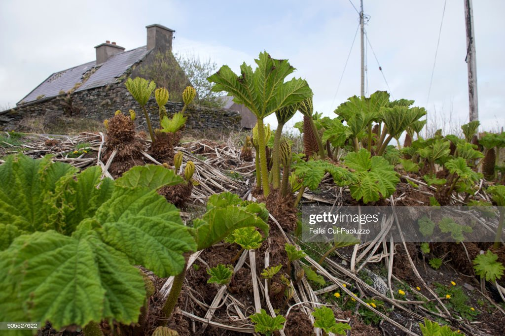 Gunnera Plant Stock Photos and Pictures Getty Images