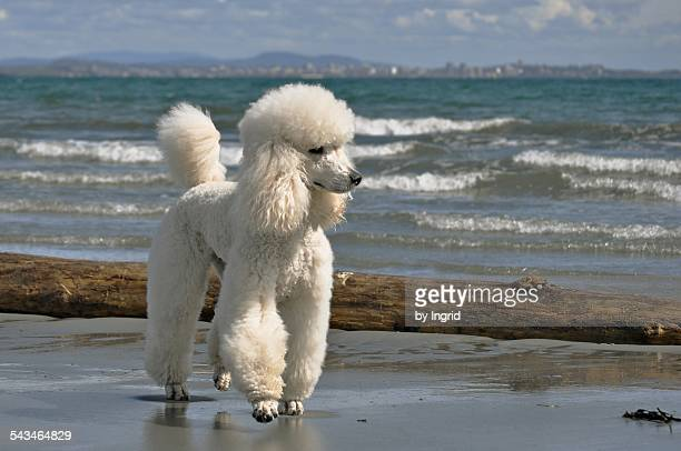 gunther by the sea - standard poodle stock photos and pictures