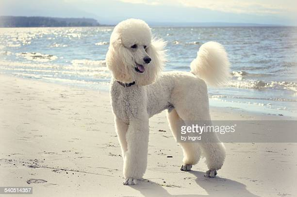 gunther - standard poodle stock photos and pictures