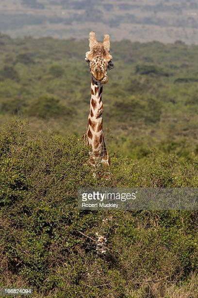 Gurning Giraffe