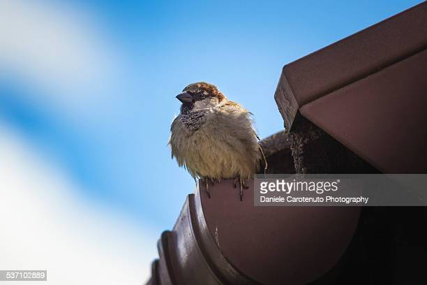gutted sparrow - daniele carotenuto stock pictures, royalty-free photos & images
