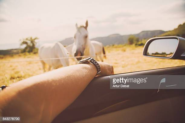 Guy from personal point of view contemplating the horses in the Catalan countryside from the car window while he is driving in the Collsacabra mountains.
