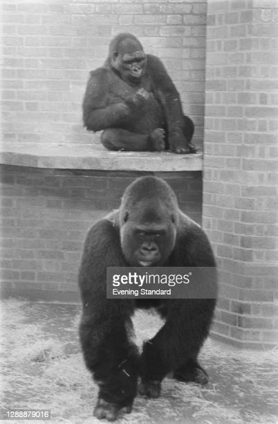 Guy the Gorilla at London Zoo with female gorilla Lomie, UK, November 1971. Guy is around 24 years old and Lomie is 7 and a half.