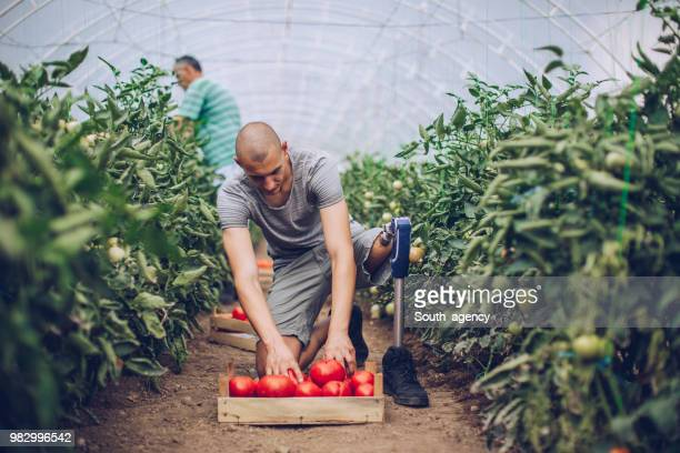 Guy with Disability Picking Tomatoes In Greenhouse