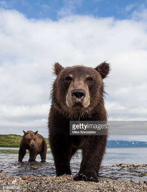guys - grizzly bear stock photos and pictures