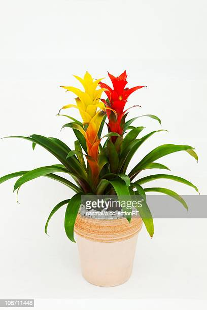 guzmania - bromeliad stock photos and pictures