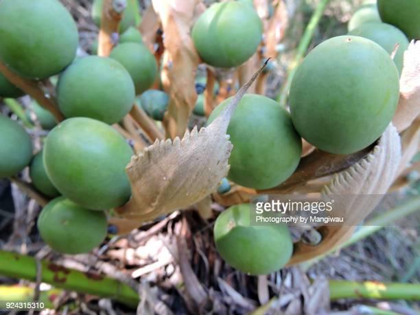 Gymnosperm Fruit