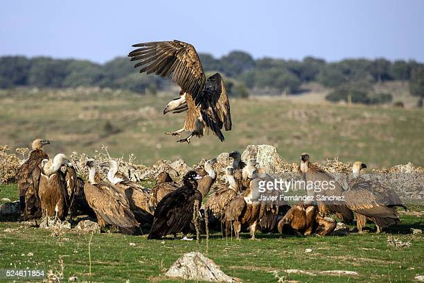 Gyps fulvus. A flock of eurasian griffon vultures feeding along with a copy of eurasian black vulture. Extremadura, Spain.